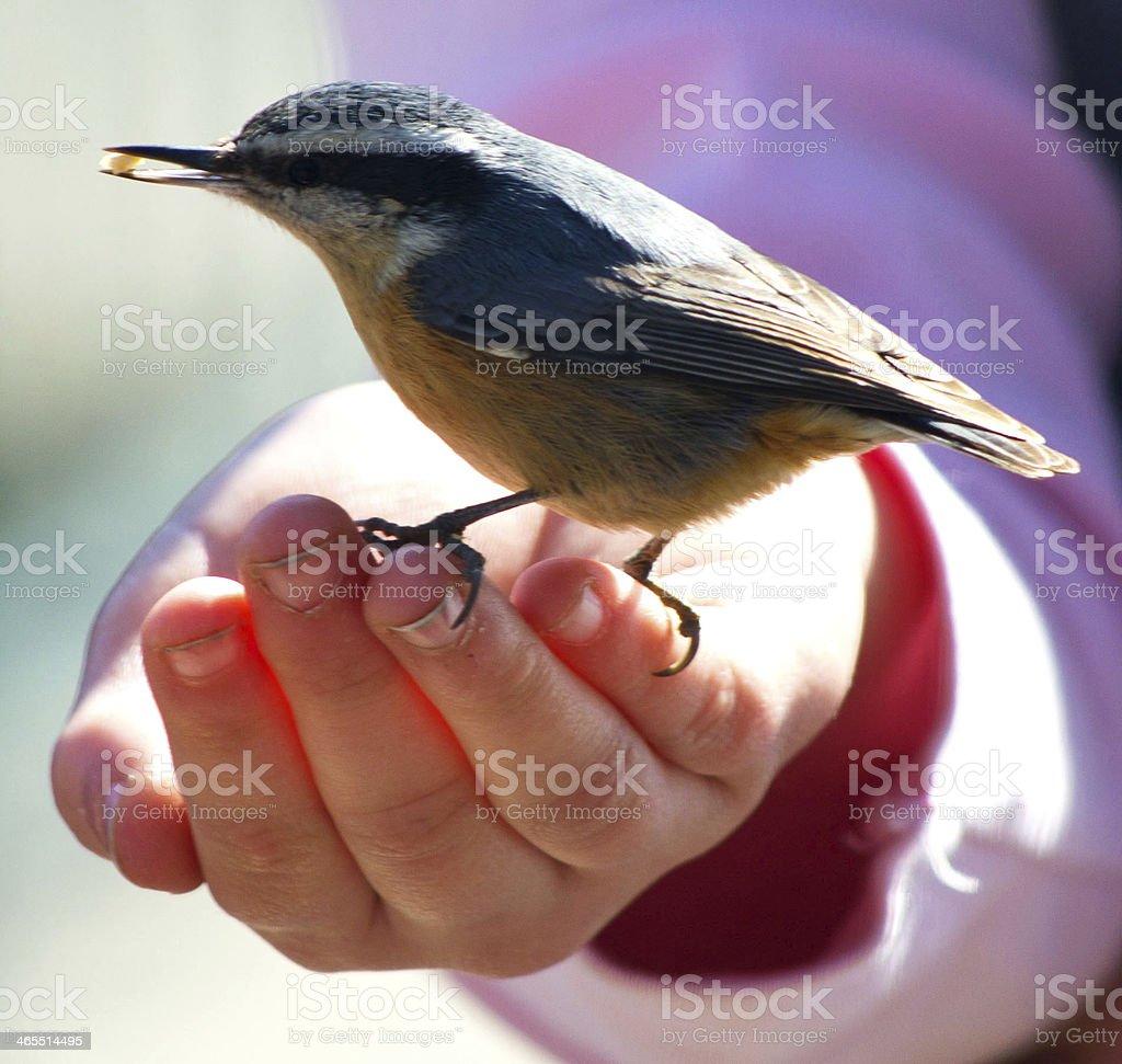 Bird in Hand stock photo