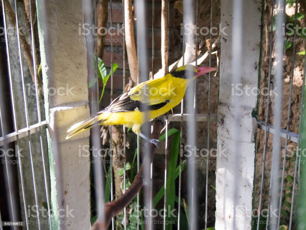 Bird in the cage. yellow bird. stock photo