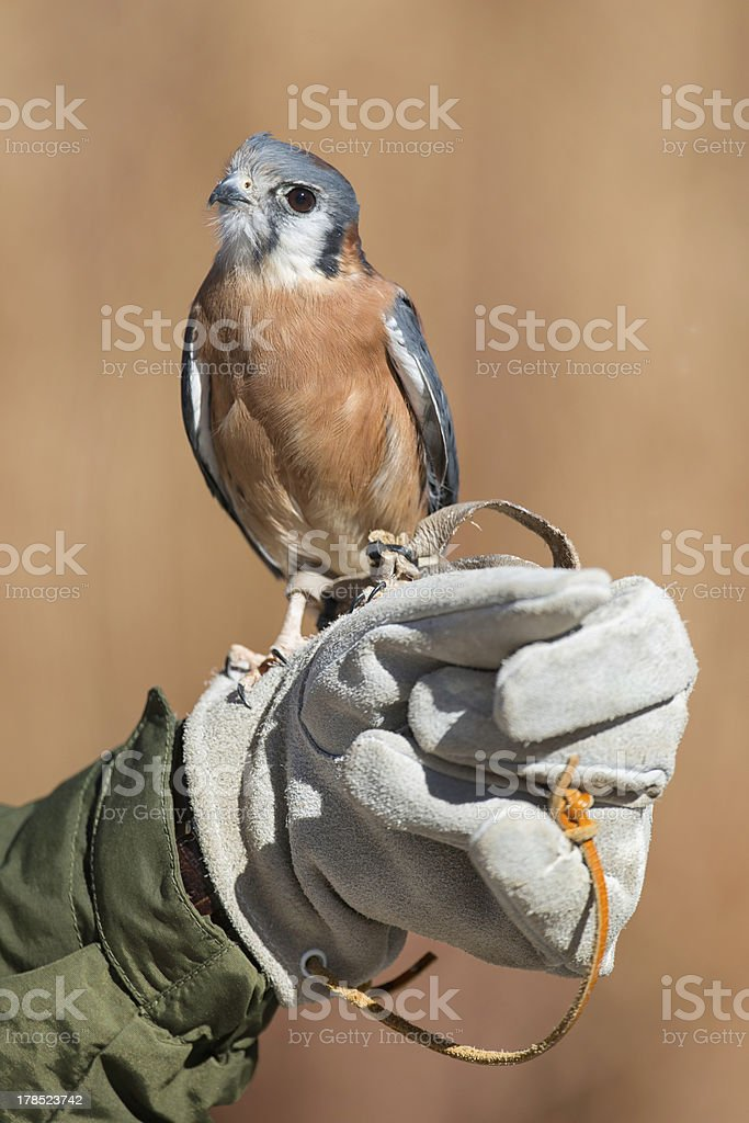 Bird in the hand royalty-free stock photo