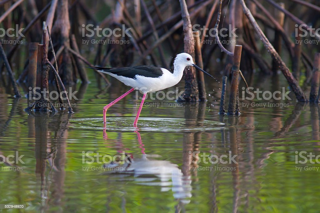 Bird in the mangrove, Black winged stilt. stock photo