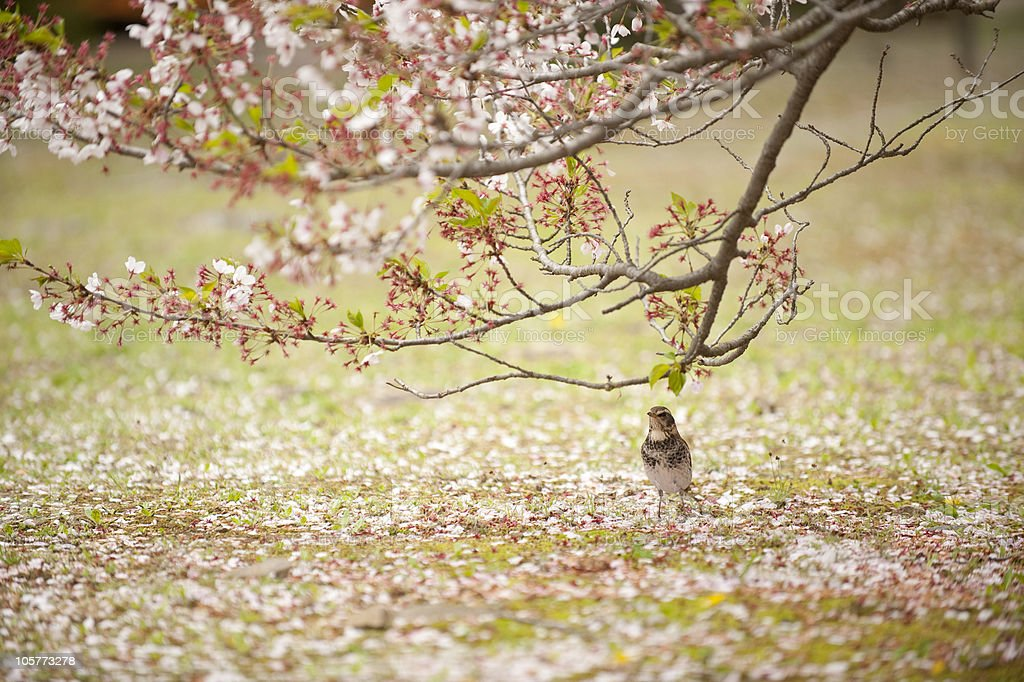 Bird in the middle of fallen cherry blossoms royalty-free stock photo