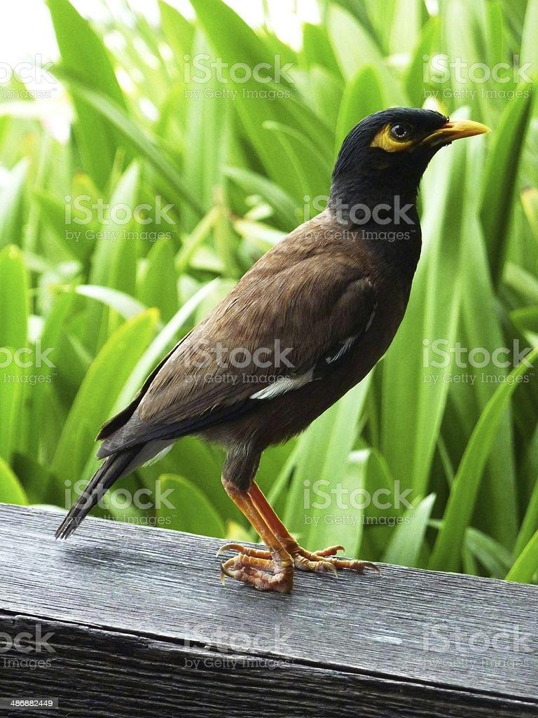 Bird Ko Samui royalty-free stock photo