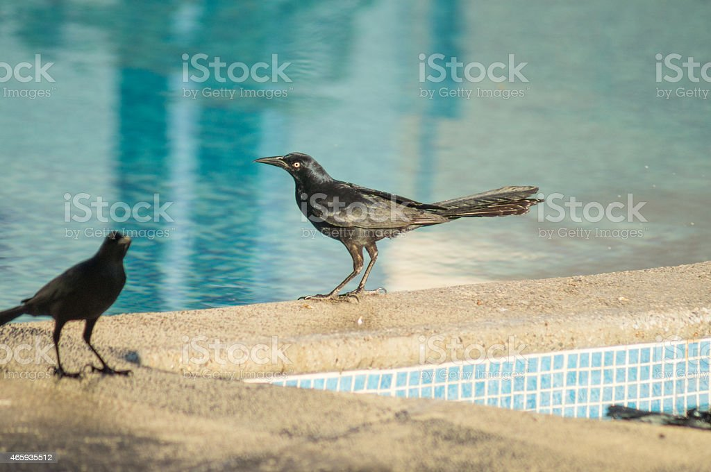 Bird Male Great-tailed Grackle Zanate Negro Mexicano stock photo