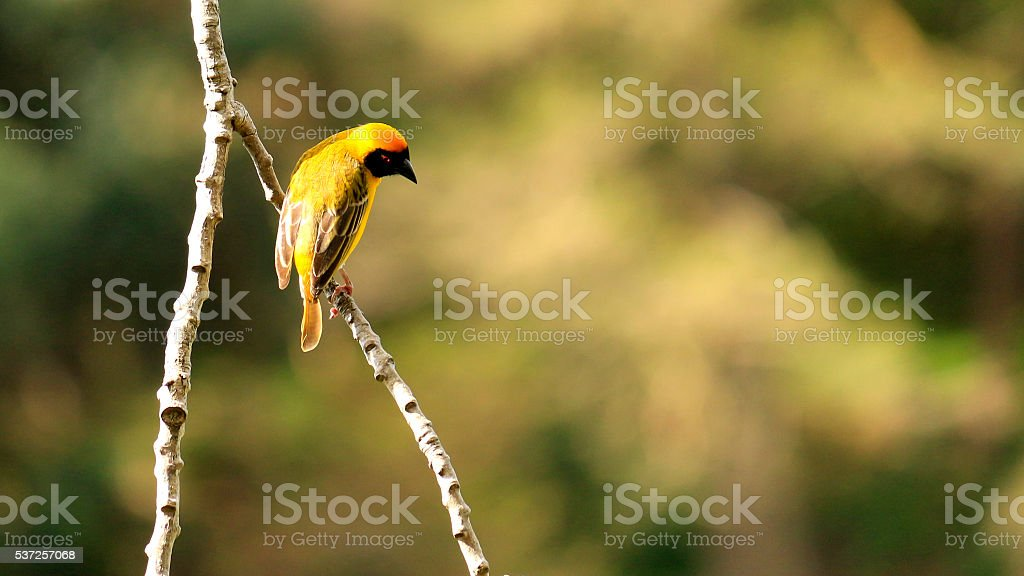 Bird Masked Weaver yellow black beak stock photo