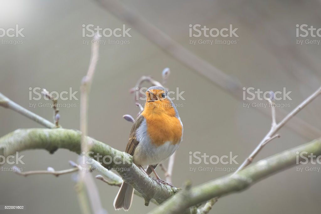 Bird mating stock photo