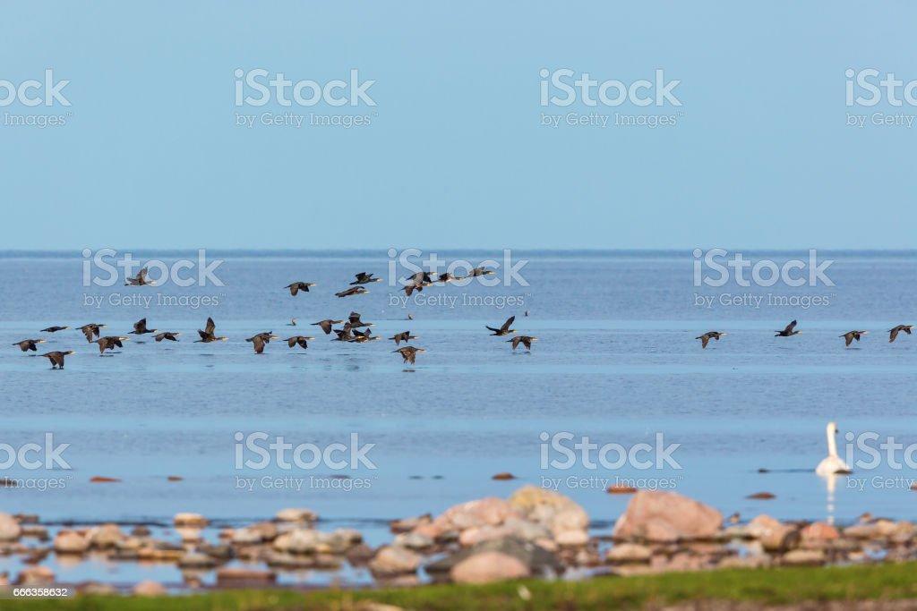 Bird migration with Great Commaran stock photo