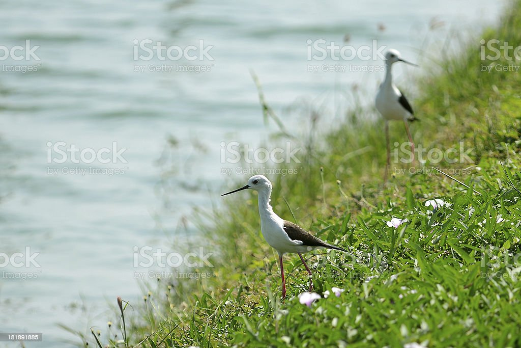 Bird near the lake royalty-free stock photo