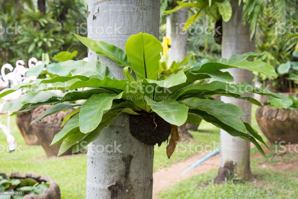 Bird nest fern, tropical fern growth on tree