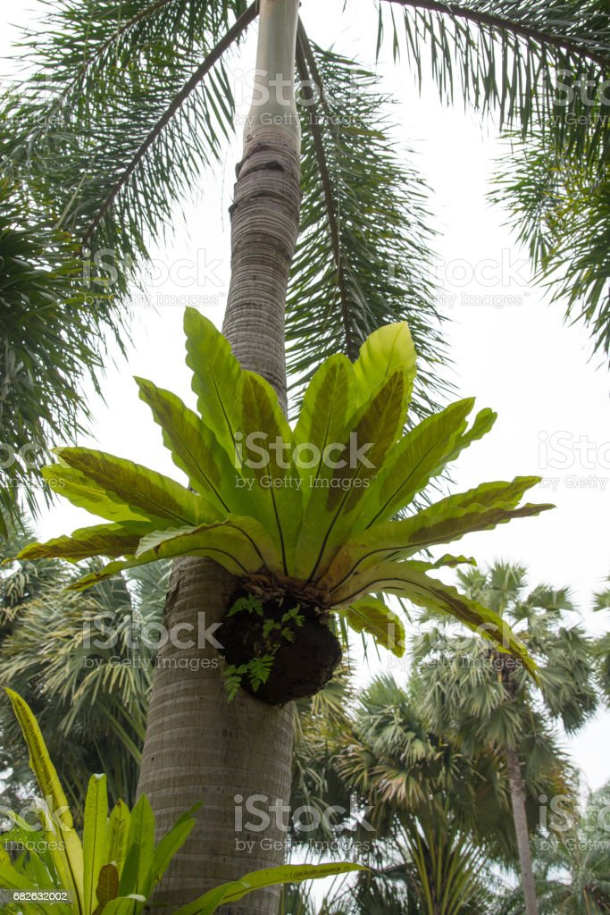 Bird nest fern, tropical fern growth on tree