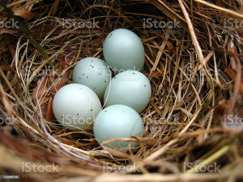 bird nest with 5 eggs dunnock stock photo