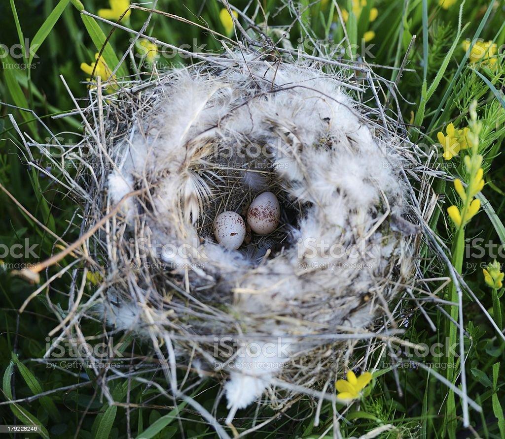 Bird nest with eggs royalty-free stock photo