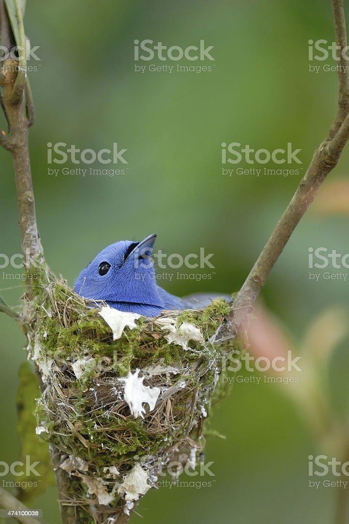 Bird (Black-naped Monarch) nesting on tree stock photo