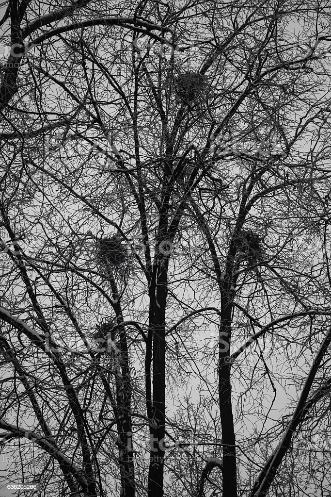 bird nests in trees in the forest. Ominous dark forest stock photo