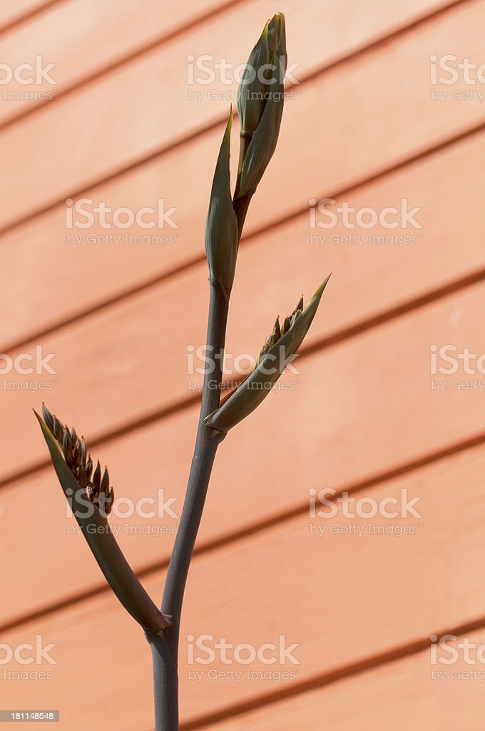 Bird of Paradise Against an Orange Building royalty-free stock photo