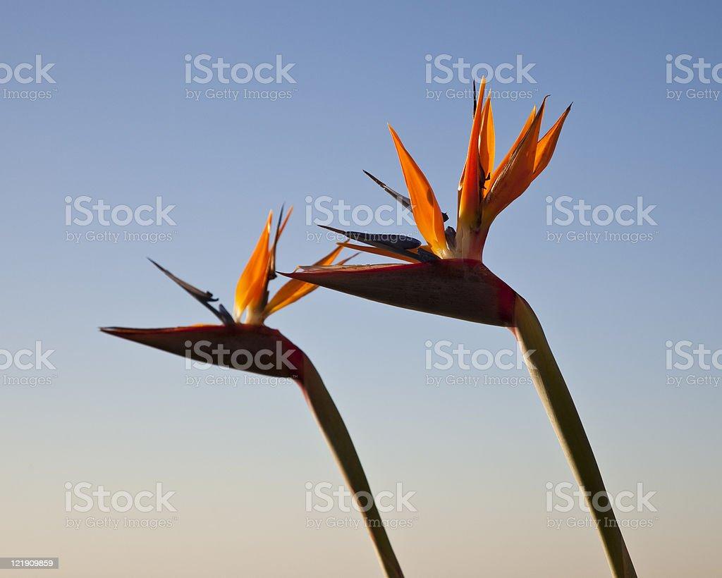 Bird of Paradise at Sunset royalty-free stock photo