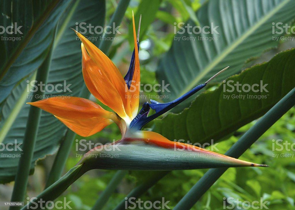 bird of paradise dry stock photo
