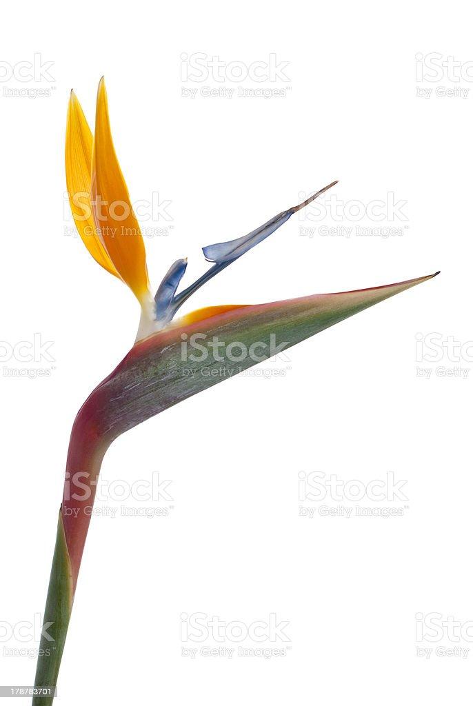 Bird of paradise flower (Strelitzia reginae) isolated on white b stock photo