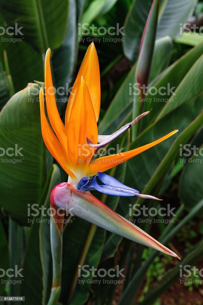 Bird of paradise flower of Madeira Island, Portugal stock photo
