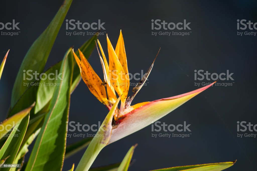 Bird of Paradise flower, of the Heliconia species. Bright orange petals stock photo