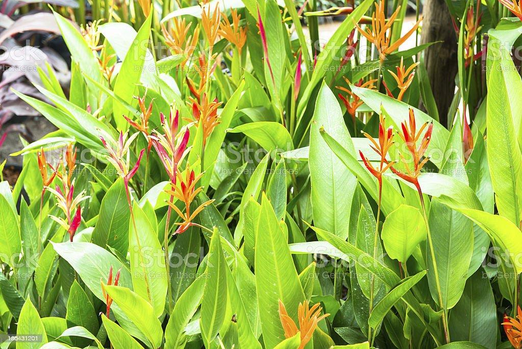 bird of paradise flower on green background stock photo