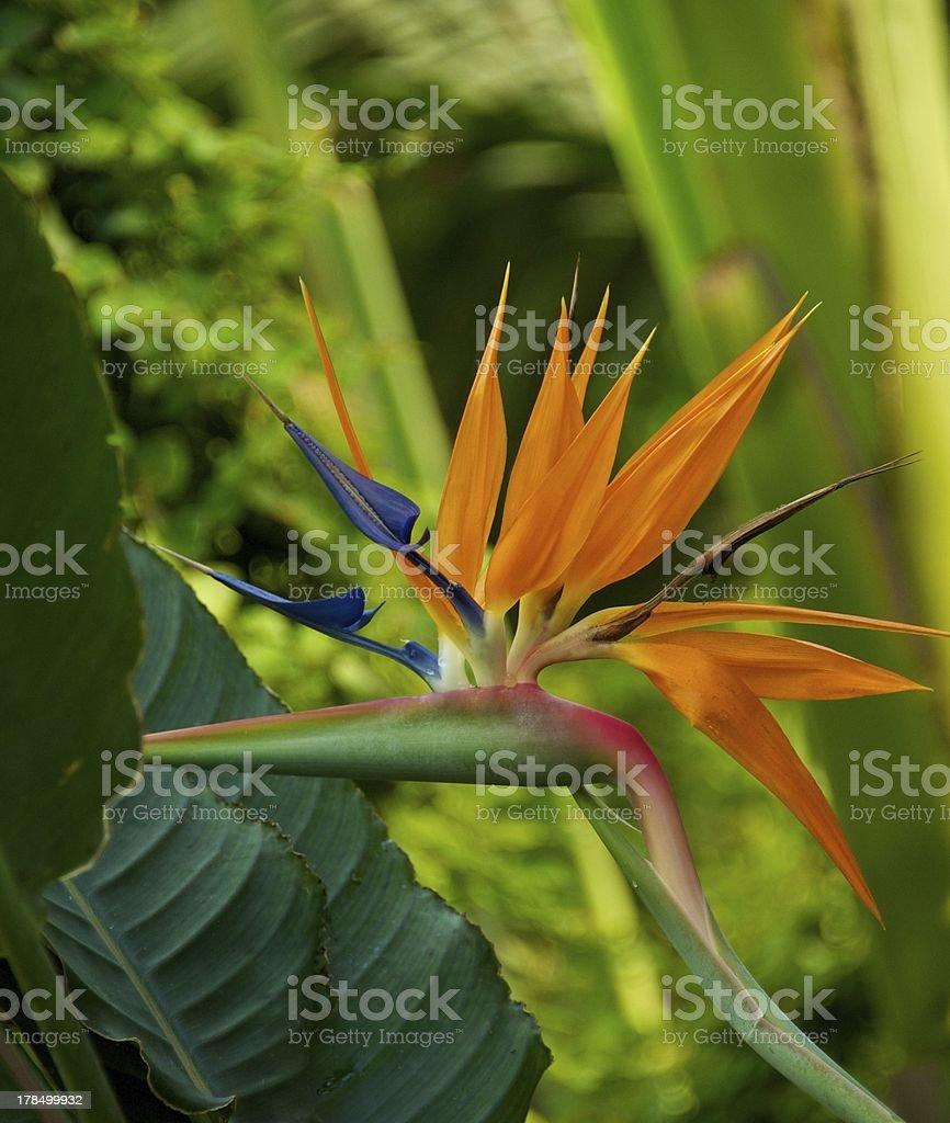 Bird of paradise flower (Strelitzia reginae) stock photo