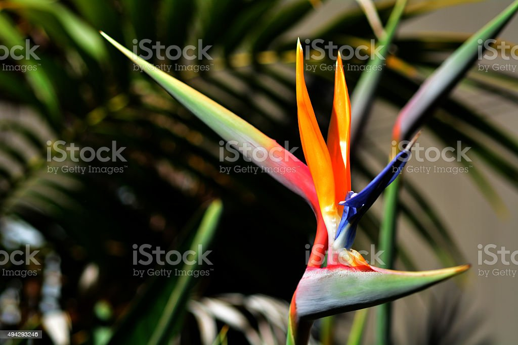 Bird of paradise flower - Strelitzia reginae stock photo