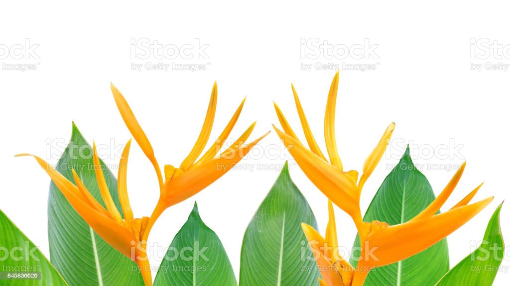 Bird of Paradise flowers and leaves on a white background. stock photo