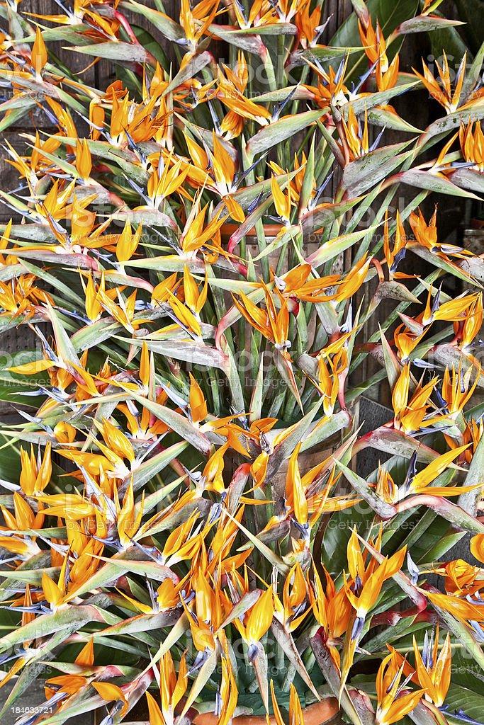 Bird of paradise flowers (Strelitzia) bouquet stock photo