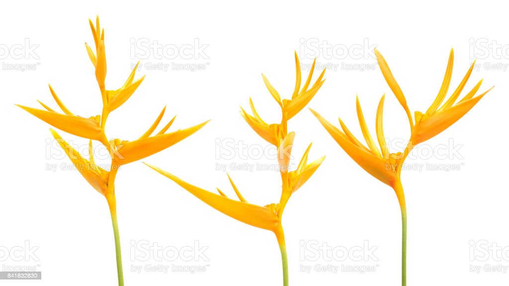 Bird of Paradise flowers on a white background. stock photo