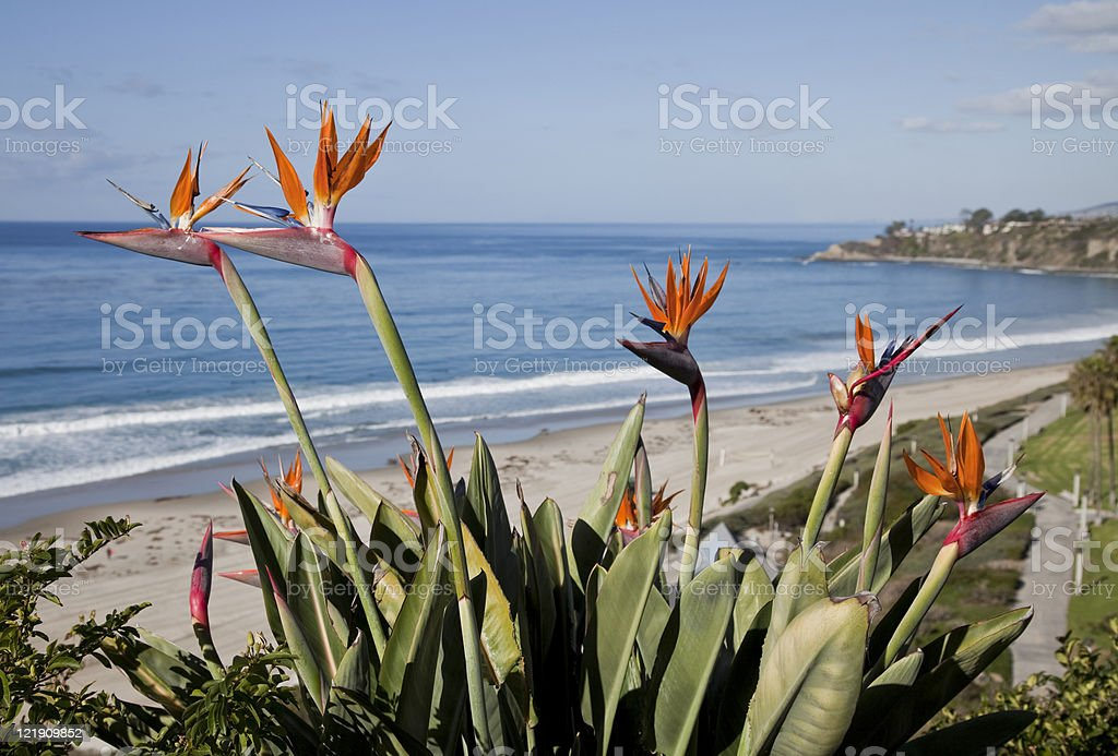 Bird of Paradise Flowers royalty-free stock photo