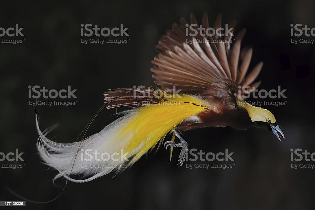 bird of paradise in flight stock photo