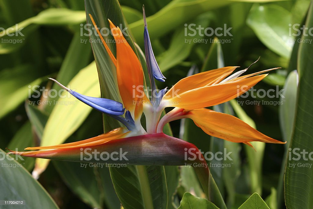 Bird of Paradise In Oahu stock photo