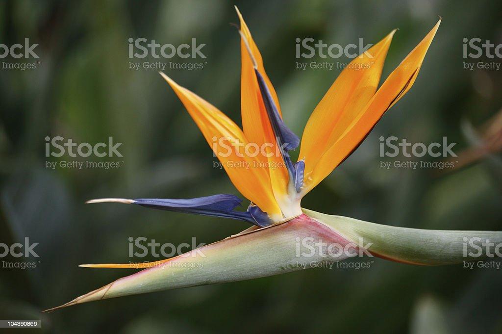 Bird of paradise (Strelitzia regina) royalty-free stock photo