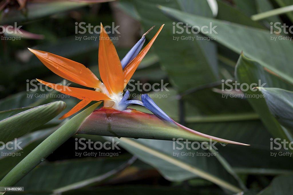 Bird of paradise stock photo