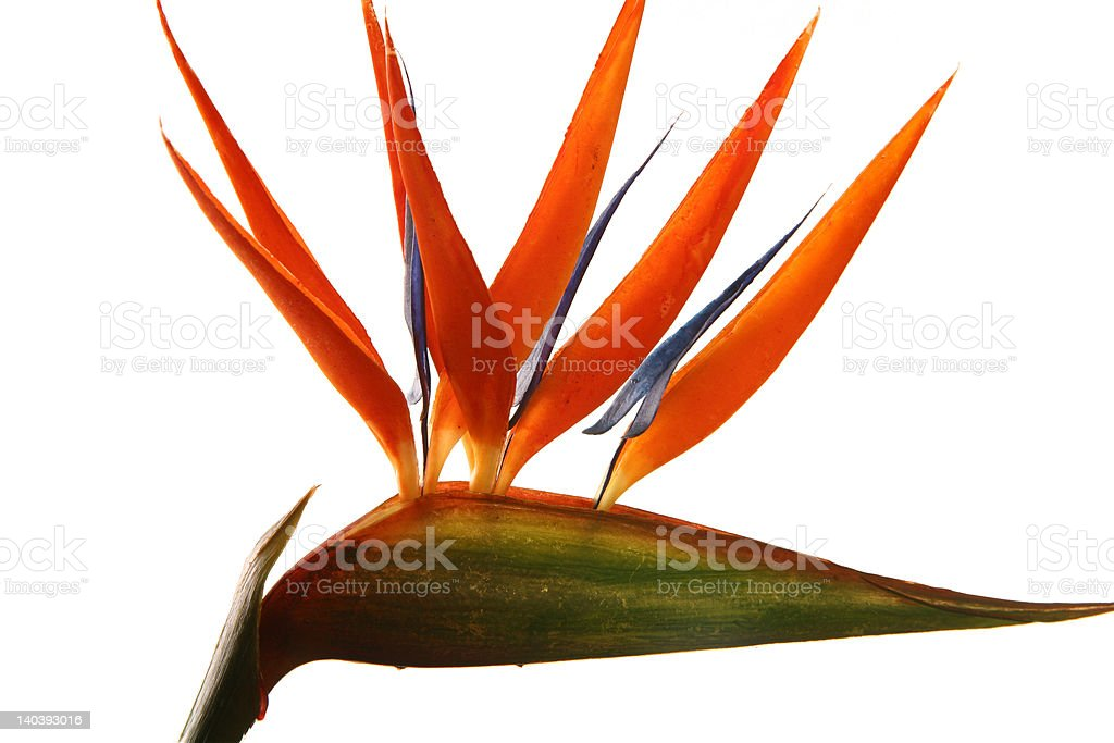 Bird of Paradise royalty-free stock photo