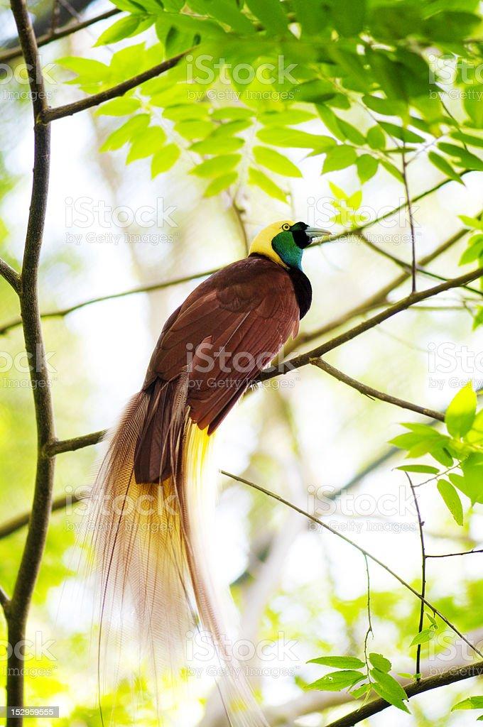 Bird Of Paradise royalty-free stock photo