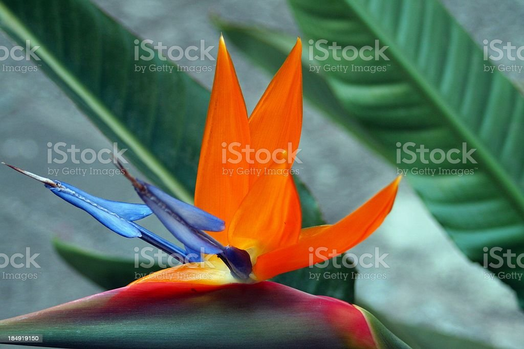Bird of paradise -Tropical flower royalty-free stock photo