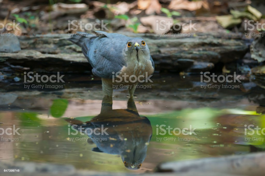 Bird of prey drinking water carefully keep an eye on others hunter.  Big bird, Shikra ( Accipiter badius ) standing in a water looking at a  photographer. stock photo