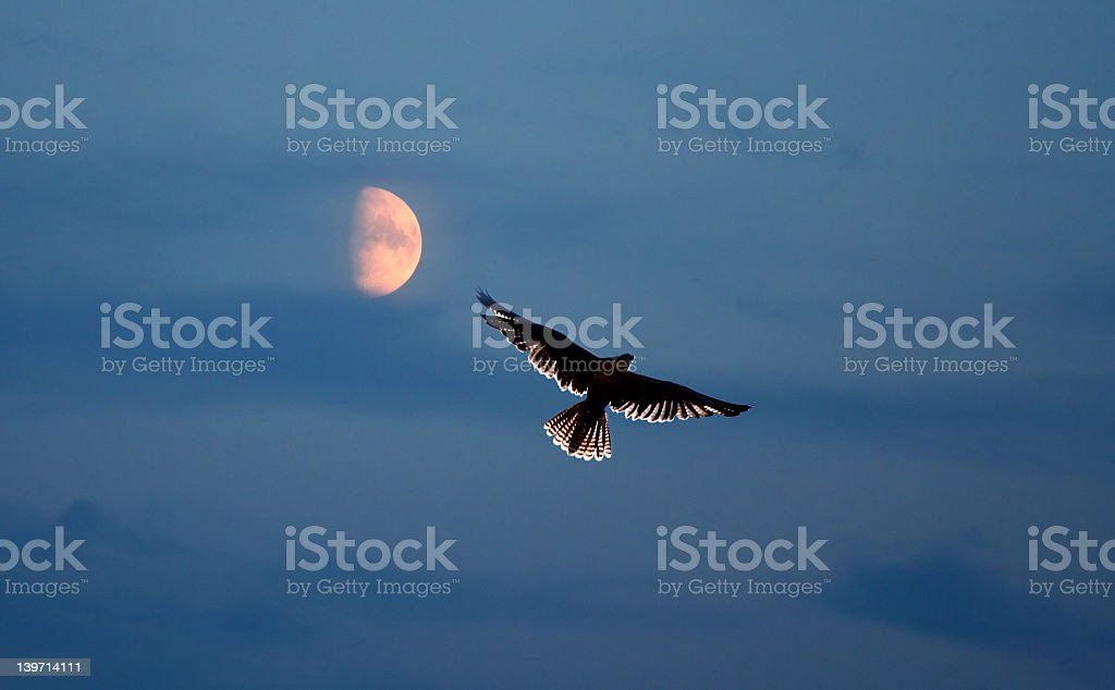 A bird of prey flying in the night sky stock photo