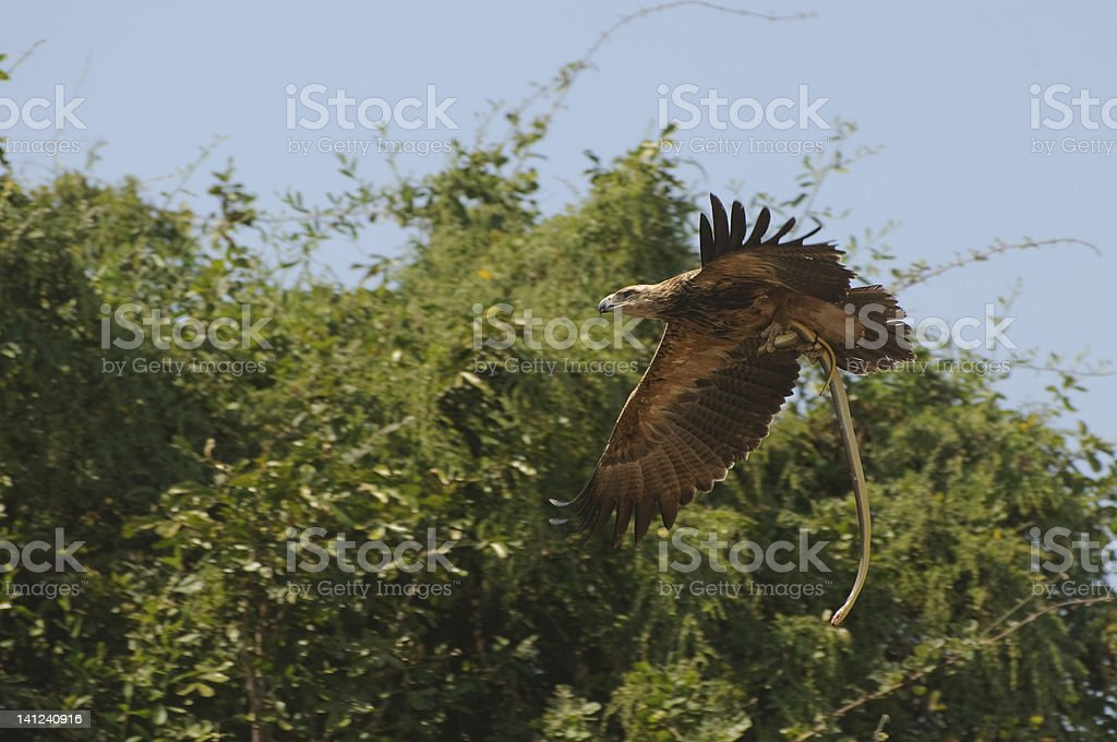 Bird of Prey Flying with Snake stock photo