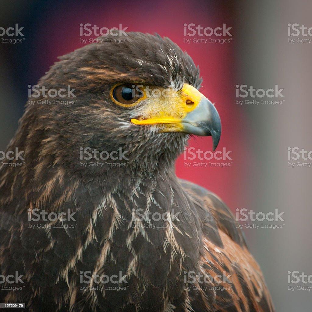 bird of prey - hawk stock photo