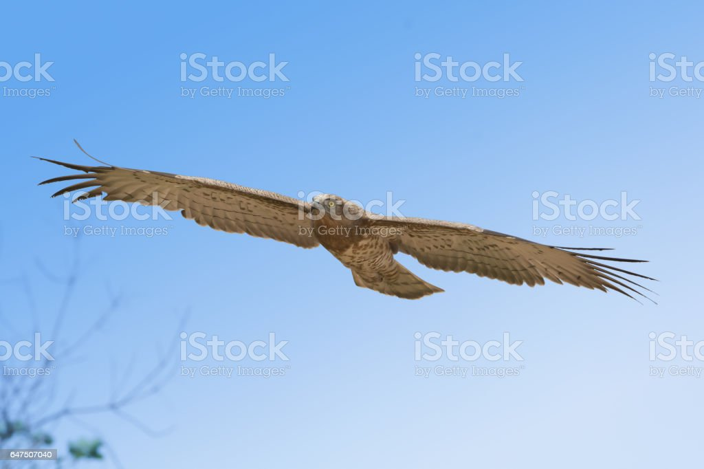 Bird of prey in flight on blue sky clouds background.  Low angle view of Short-toed snake eagle (Circaetus gallicus) flying in blue sky . stock photo