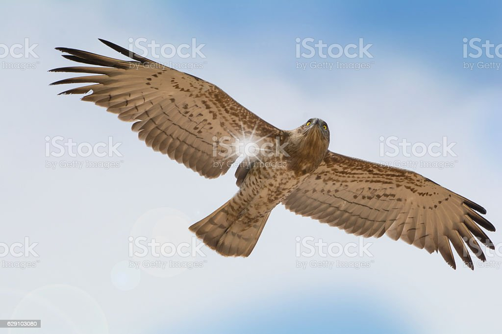 Bird of prey in flight on blue sky clouds background. stock photo