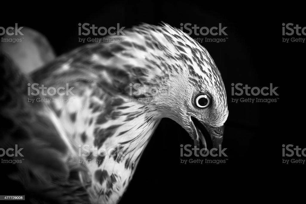 Bird of Prey stock photo