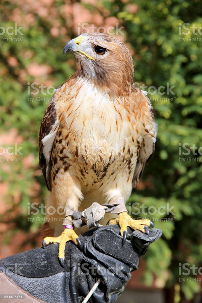 Bird of prey red-tailed hawk stock photo