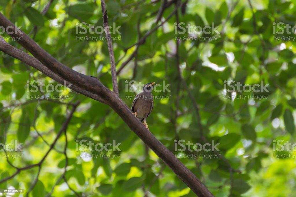 Bird (Starlings, Acridotheres, Common myna) on a tree stock photo