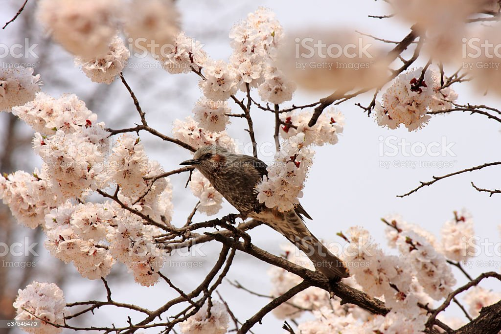Bird on Cherry Blossoms stock photo