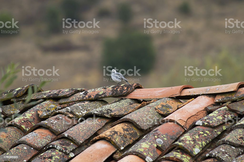 Bird on Roof - Pajaro en Tejado royalty-free stock photo