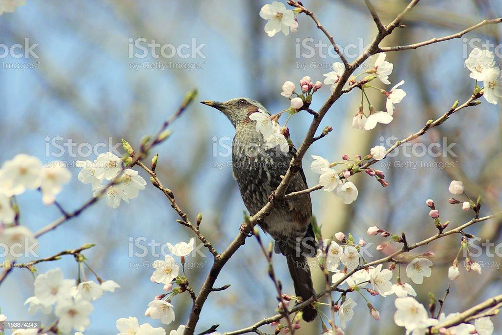 Vogel auf sakura-Baum Lizenzfreies stock-foto