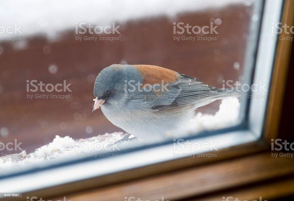 Bird Outside Window Looking In royalty-free stock photo
